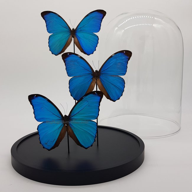 "Three Morpho Menelaus in dome (12.2"" X 9.1"")"