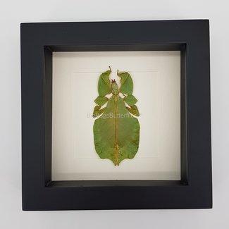"Leaf insect (Phyllium Pulchrifolium) framed (6.3"" x 6.3"")"