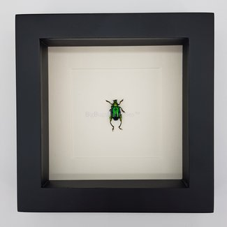 "Shining beetle framed (6.3"" x 6.3"")"