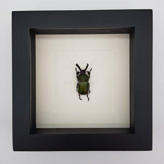 "Lamprima Adolphinae framed (6.3"" x 6.3"")"