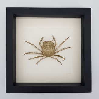 Krab in lijst (25x25)