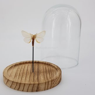 Beige moth in dome (6.7'' X 5.1'')