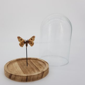 Moth in dome (6.7'' X 5.1'')