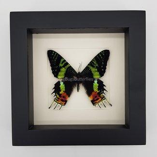 """Urania Ripheus framed (6.3"""" X 6.3"""")"""