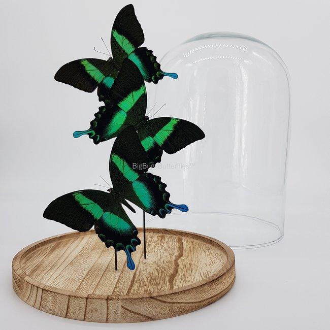 Drie Papilio Blumei in stolp (31X23)