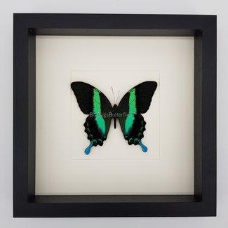 "Papilio Blumei framed (10"" X 10"")"