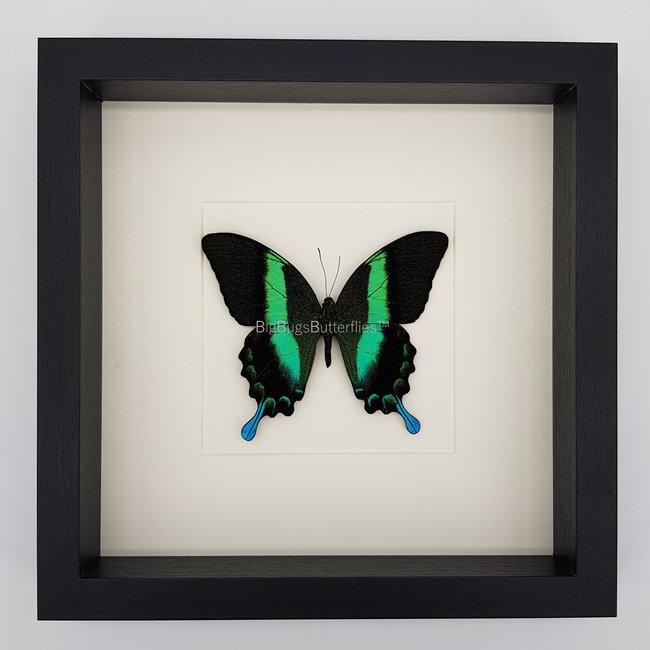 Papilio Blumei in lijst (25X25)