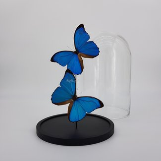 """2 Morpho Menelaus playful in dome (10"""" X 6.7"""")"""