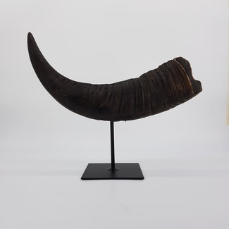 Water buffalo horn on stand