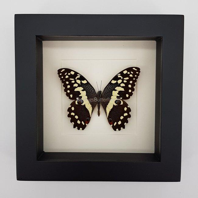 "Papilio Demodocus framed (6.3"" X 6.3"")"
