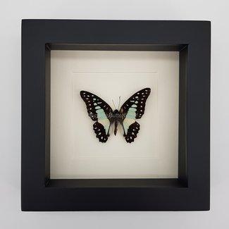 "Graphium Meyeri in frame (6.3"" X 6.3"")"