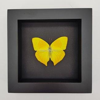"Phoebis Rurina in frame (6.3"" X 6.3"")"
