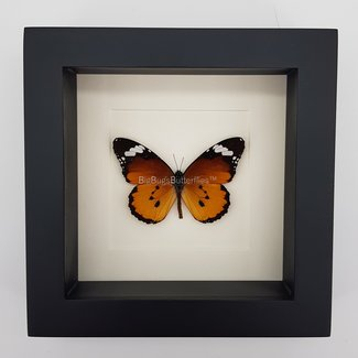 "Danaus Chrysippus framed (6.3"" X 6.3"")"