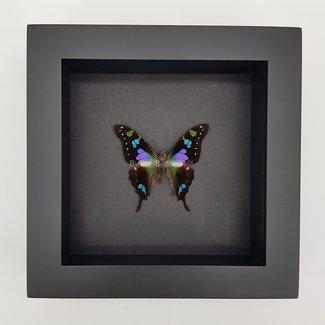 """Graphium Weiskei framed (6.3"""" X 6.3"""")"""