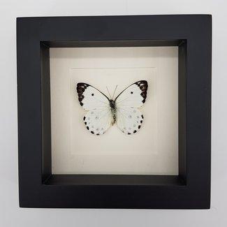 """Belenois Calypso framed (6.3"""" X 6.3"""")"""