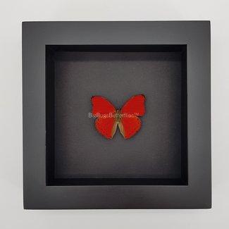 "Cymothoe Sangaris framed (6.3"" X 6.3"")"
