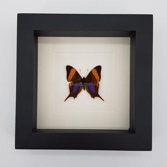 "Marpesia Marcella framed (6.3"" X 6.3"")"