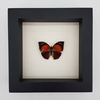 "Anaea Ryphea framed (6.3"" X 6.3"")"