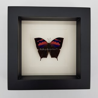 """Anaea Nessus framed (6.3"""" X 6.3"""")"""