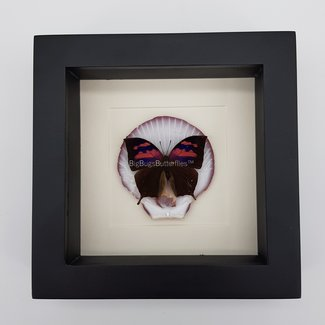 """Anaea Nessus placed on shell framed (6.3"""" X 6.3"""")"""