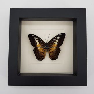"Parthenos Sylvia framed (6.3"" X 6.3"")"