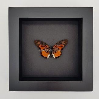 "Pseudacraea Clarkii framed (6.3"" X 6.3"")"
