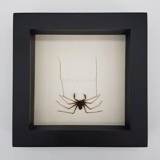 "Acanthophrynus Coronatus in frame (10""x10"")"