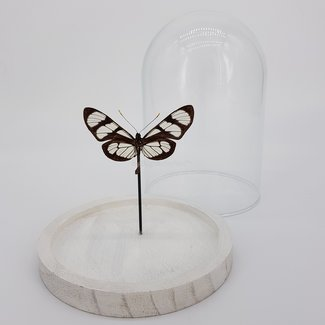 Butterfly in dome (6.7'' X 5.1'')