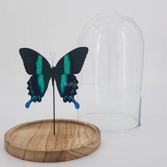 "Papilio Blumei in dome (8.3""X 5.5"")"