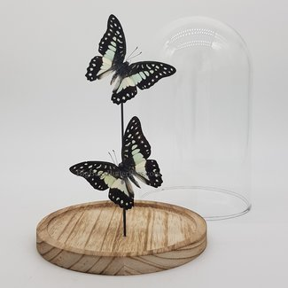 """Two Graphium Meyeri in dome (8.3""""X 5.5"""")"""