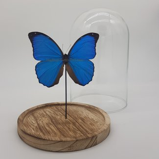 """Morpho Menelaus in dome (8.3""""X 5.5"""")"""