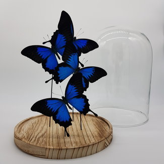 """Four Papilio Ulysses in dome (12.2"""" X 9.1"""")"""