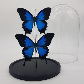 """2 Papilio Ulysses in dome (10"""" X 6.7"""")"""