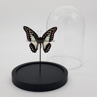 "Graphium Meyeri in dome (6.7"" X 5.1"")"