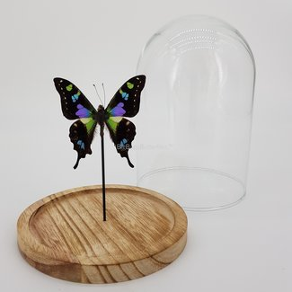 """Graphium Weiskei in dome (6.7"""" X 5.1"""")"""