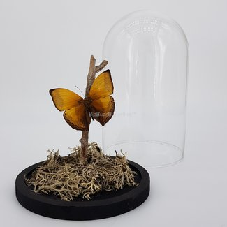 "Cymothoe Hypata in dome (8.3""X 5.5"")"