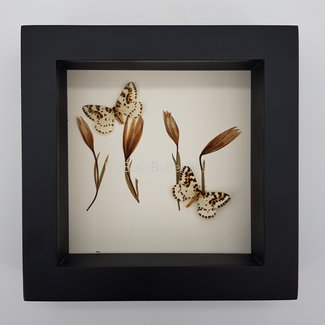 2 butterflies and dried flowers in frame (16x16)
