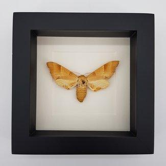 """Moth framed (6.3"""" X 6.3"""")"""