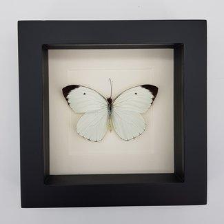 """Ascia Bunaie framed (6.3"""" X 6.3"""")"""