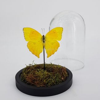 """Phoebis Rurina in natural dome (6.7"""" X 5.1"""")"""