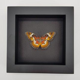 """Cethosia Hypsea framed (6.3"""" X 6.3"""")"""