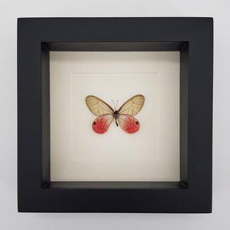 """Cithaerias Aurorina framed (6.3"""" X 6.3"""")"""