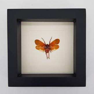 """Scamandra Sanguiflua framed (6.3"""" X 6.3"""")"""