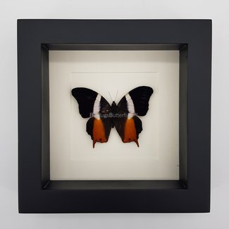"Palla Violinitens framed (6.3"" X 6.3"")"