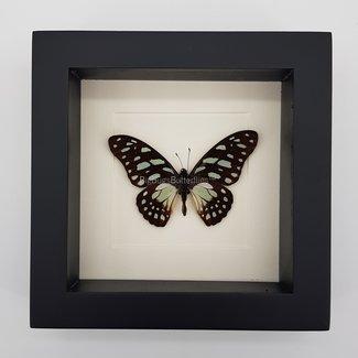 """Graphium Leonidas framed (6.3"""" X 6.3"""")"""