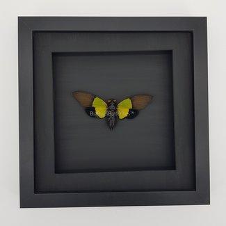 Trengganua Sybylla  framed (7.9''X7.9'')