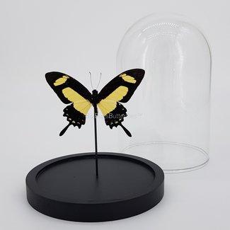 Papilio Torquatus in dome (6.7'' X 5.1'')