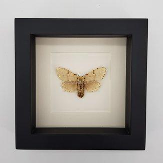 "Spilarctia Luteum framed (6.3"" X 6.3"")"