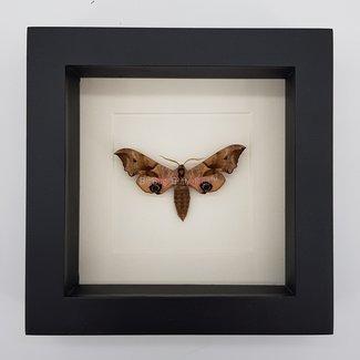 """Hawk moth framed (6.3"""" X 6.3"""")"""