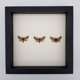 3 Biston Strataria framed (10''x10'')